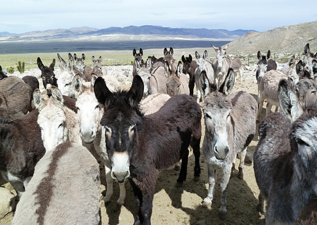 burros waiting for hay